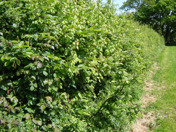 quality hedges